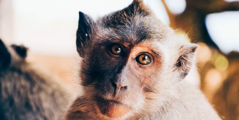 comprar mono mascota