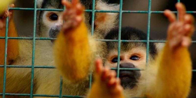 mono capuchino mascota precio