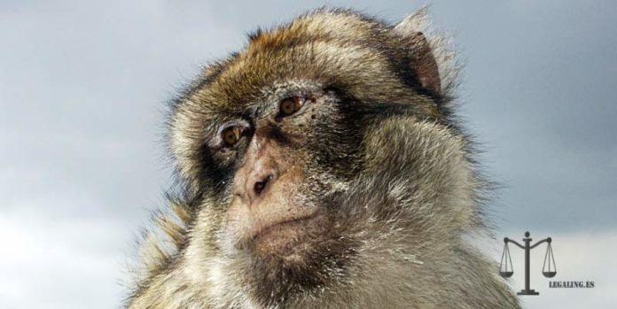 mono capuchino en venta